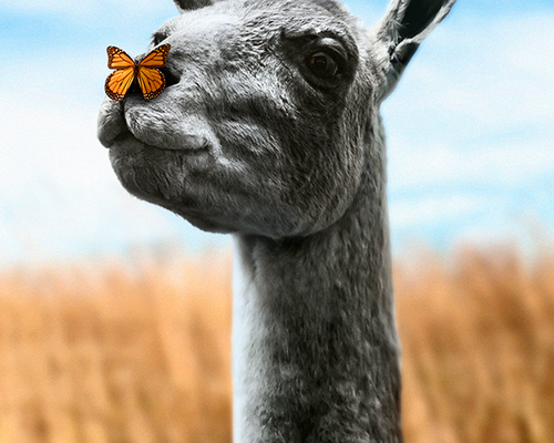 Llama and Butterfly